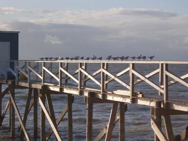 Oiseaux marins Sta50044