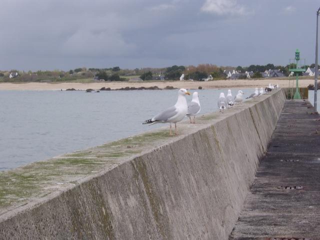 Oiseaux marins Sta50120
