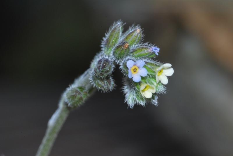 une fleur -ajonc - 13 janvier trouvée par Martin  20110411