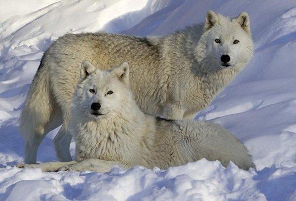 Les Loups - Page 3 30973910