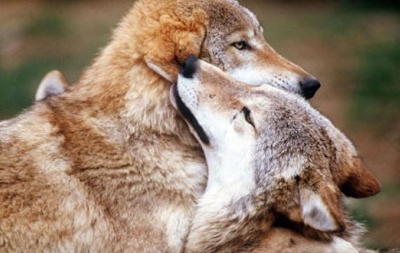 Les Loups - Page 3 98613210