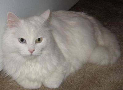 les chats Angora10