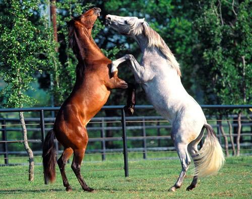 les chevaux  - Page 3 Chevau11