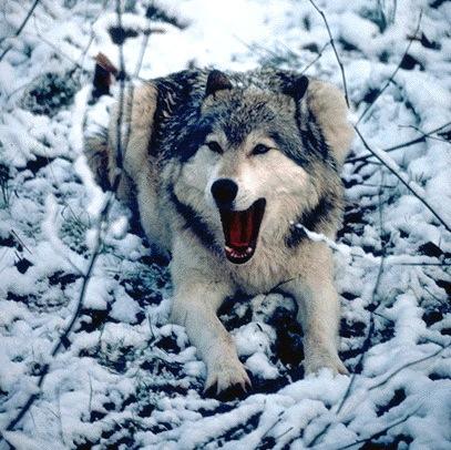 Les Loups - Page 2 Loup2010