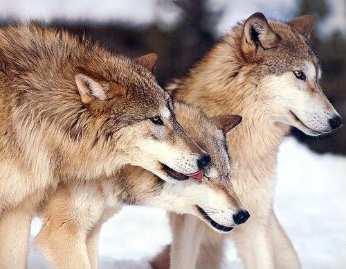 Les Loups - Page 3 Loups_10