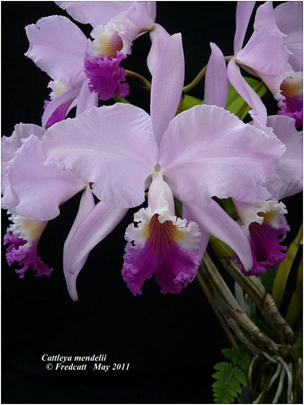 Cattleya jenmanii Cattle26