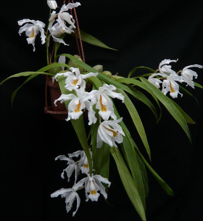 Coelogyne cristata Coelog10
