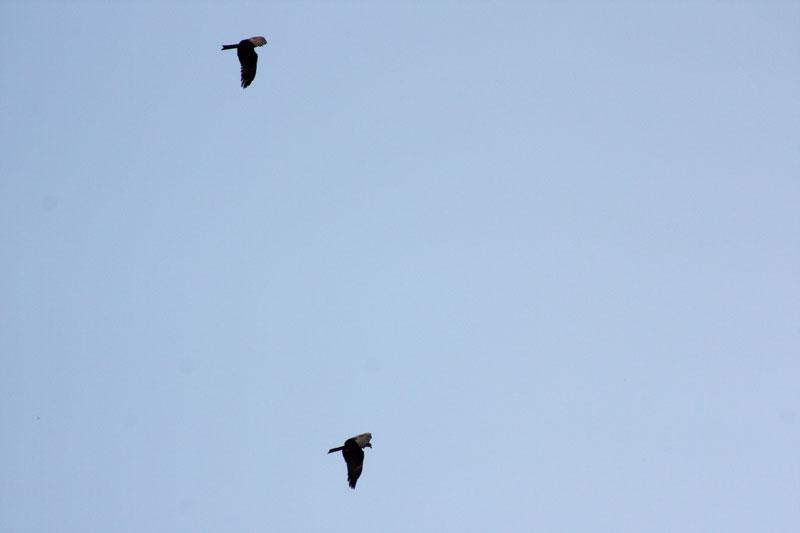 Milan noir (Milvus migrans) _mg_9415