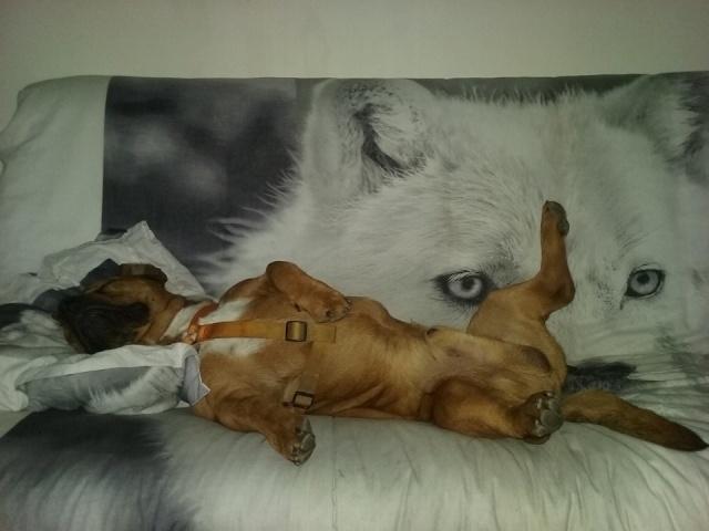 2 chiens trouvés errants non identifiés sur Mitry Mory (77) Cezann13