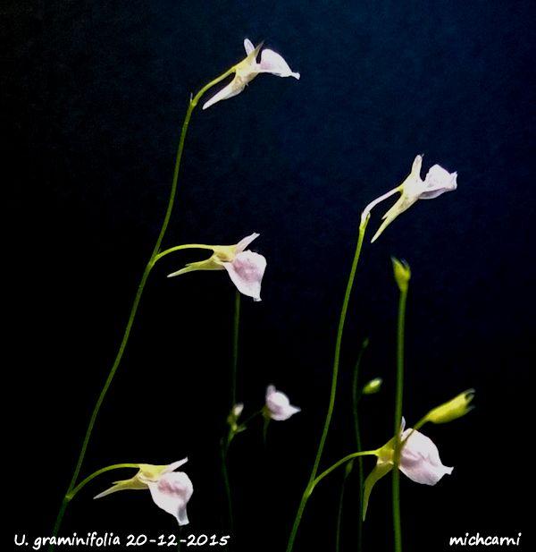 Utriculaire graminifolia U_gram13