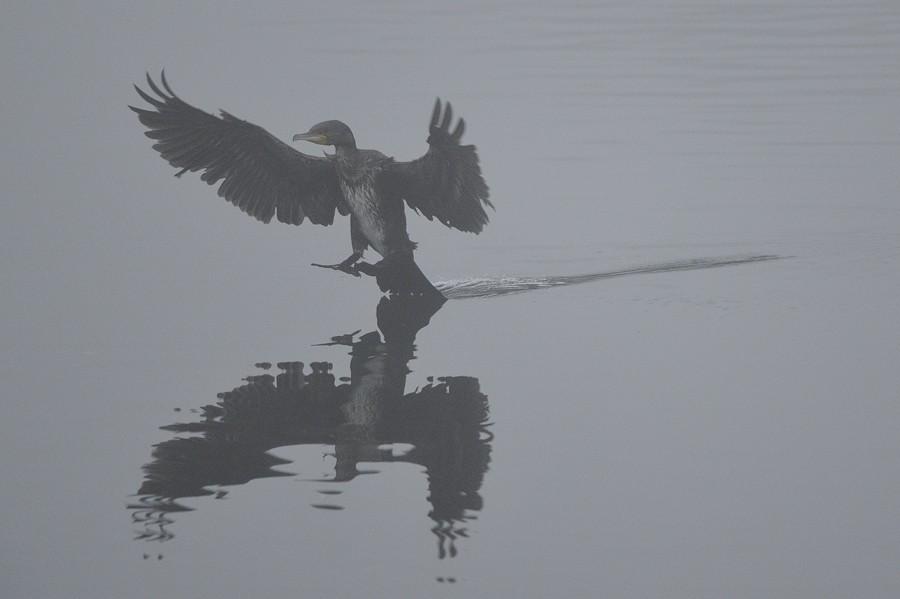 Un cormoran dans la brume ... 15110810