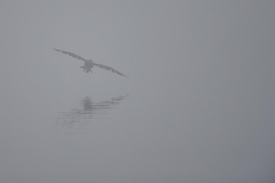 Un cormoran dans la brume ... 15110811