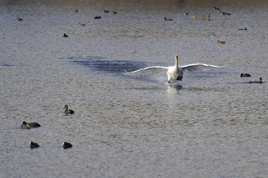 """Cygne """"marchant sur l'eau"""" ... 15121910"""
