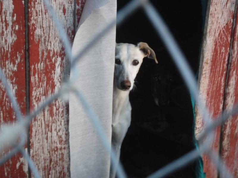Marlena, galga blanche, 4 ans Scooby France Adoptée  12291910