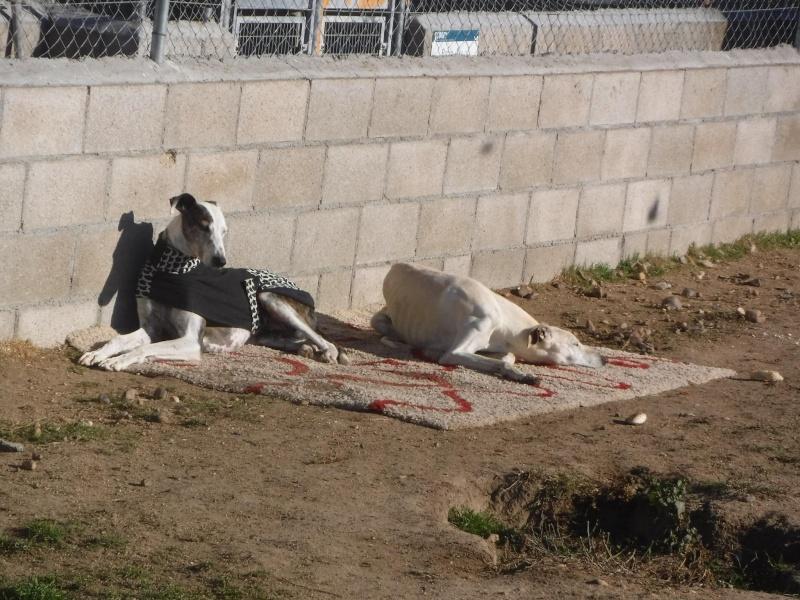 Marlena, galga blanche, 4 ans Scooby France Adoptée  12309811