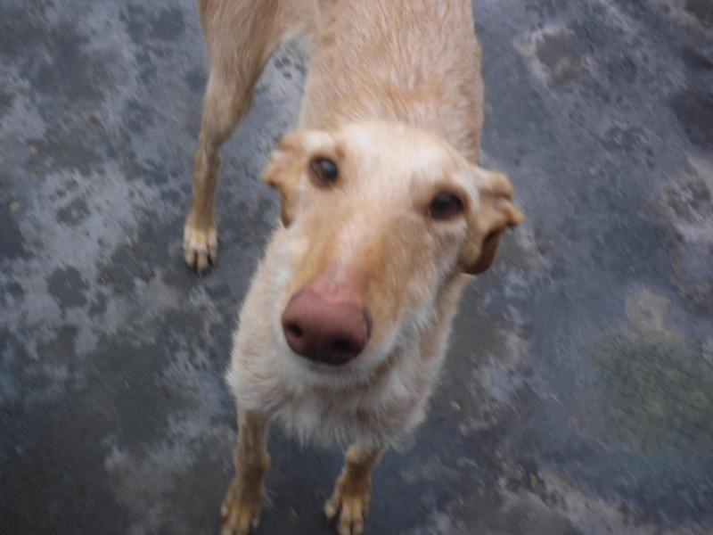 JUANI, galga barbuda beige, 2 ans 1/2 Adoptée  12489110