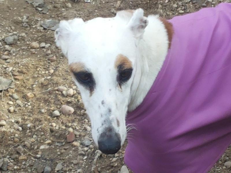 DELICIA galga blanche et bringée, 3 ans adoptée  Delici12