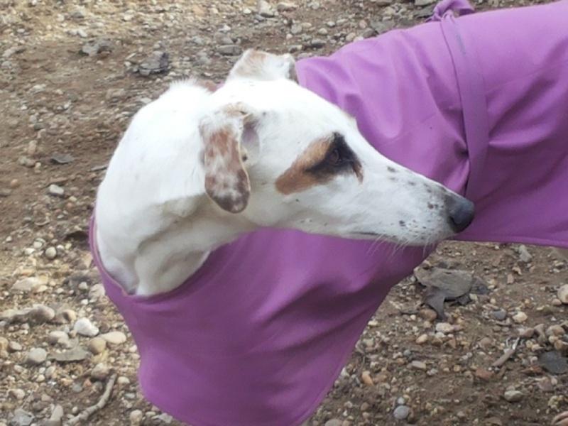 DELICIA galga blanche et bringée, 3 ans adoptée  Delici14