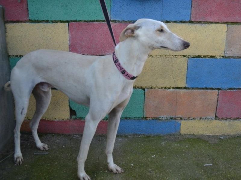 Carlito, galgo blanc de petite taille, 2 ans Dsc_0643