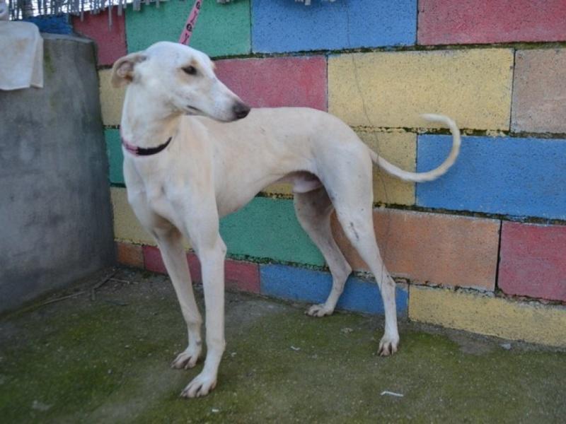 Carlito, galgo blanc de petite taille, 2 ans Dsc_0646
