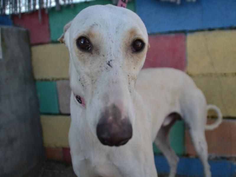 Carlito, galgo blanc de petite taille, 2 ans Dsc_0648