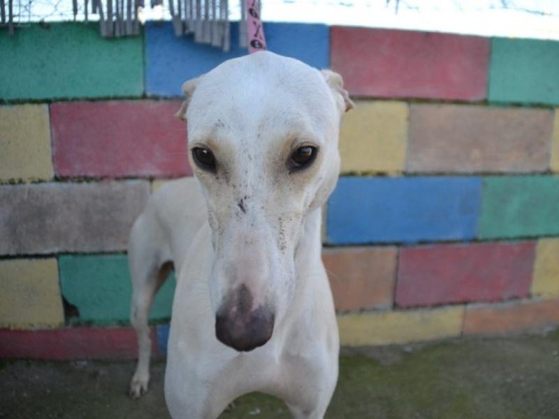 Carlito, galgo blanc de petite taille, 2 ans Dsc_0649