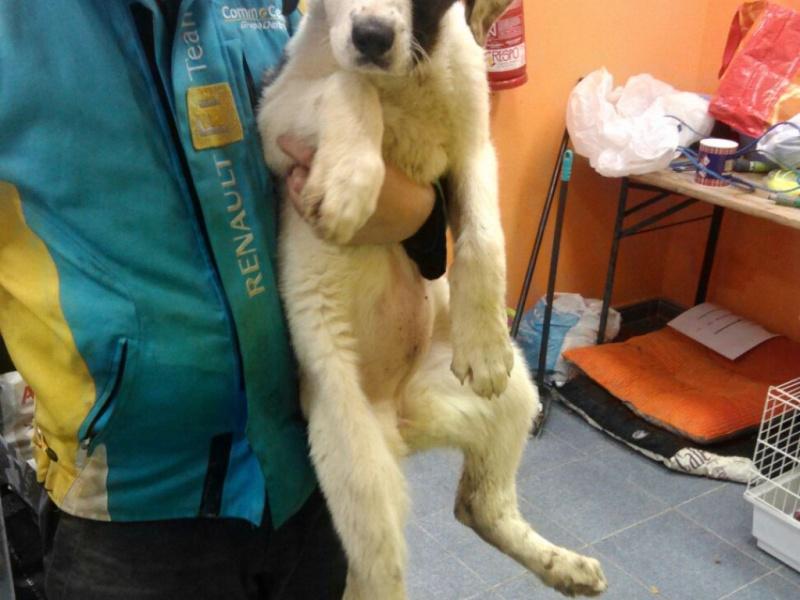Nur, bébé mastin femelle, 4 mois  Adoptée  Img-2015