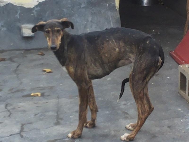CHATITA, galga brun foncé, 2 ans 1/2  Adoptée Pozero11