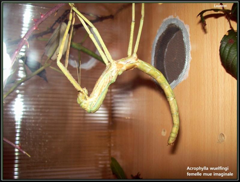 Acrophylla wuelfingi (P.S.G n°13) 100_3310