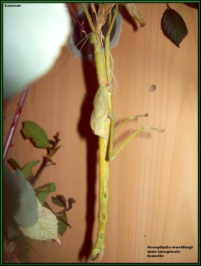 Acrophylla wuelfingi (P.S.G n°13) 100_3311