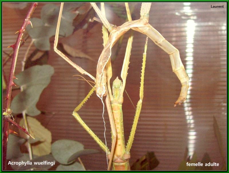 Acrophylla wuelfingi (P.S.G n°13) 100_3412
