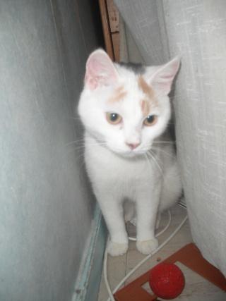 TIANA - 8 mois - Femelle tricolore Dscf0610