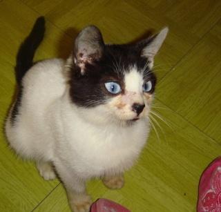 PEPSI - X mois - Mâle blanc & tâches noires aux yeux bleus Pepsi_11