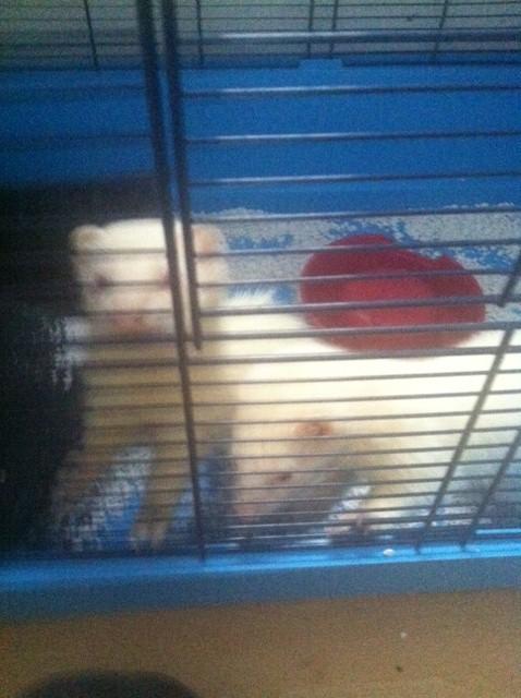 3 femelles furet dont 2 albinos et 1 putoisée Photo_25