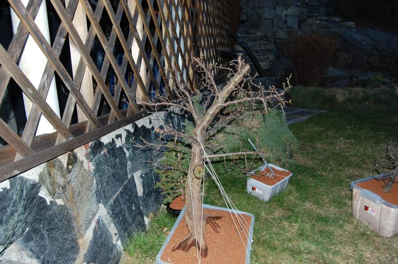 Update on my plum tree. (Now Blackthorn?) Dsc_0622
