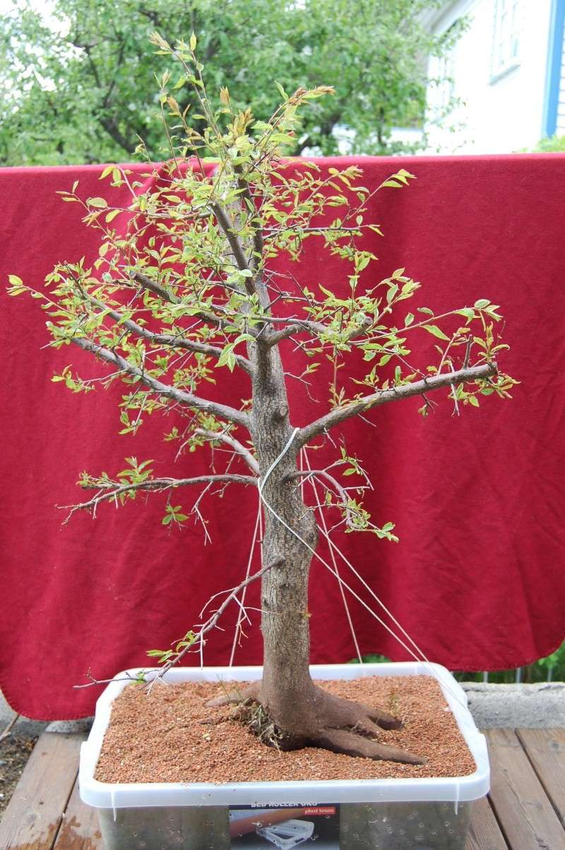 Update on my plum tree. (Now Blackthorn?) Dsc_0623