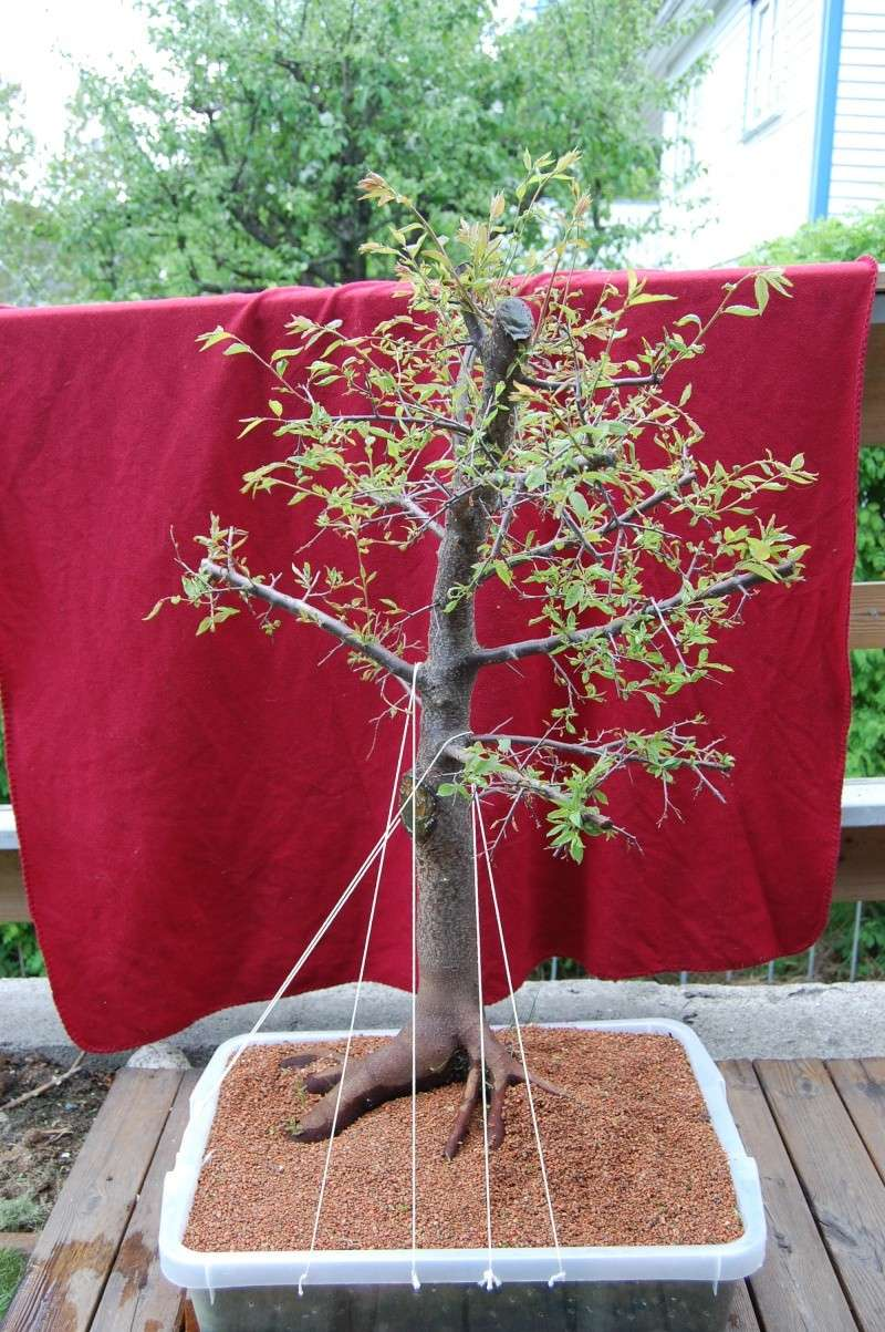 Update on my plum tree. (Now Blackthorn?) Dsc_0710