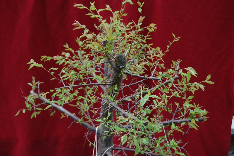 Update on my plum tree. (Now Blackthorn?) Dsc_0711