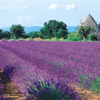 Provence Lavand11