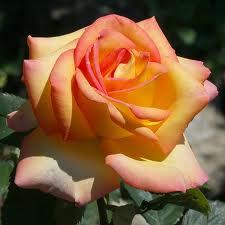 Bientôt le mois de mai Rose12