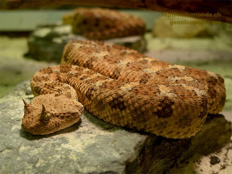 Fiche sur le maintien et manipulation de serpents venimeux Cerast10