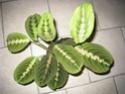 Maranta leuconeura erythroneura Marant12