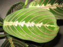 Maranta leuconeura erythroneura Marant13