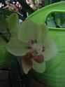 3 vrais mini Phalaenopsis et Oncidium Mini_o10