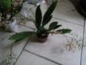 3 vrais mini Phalaenopsis et Oncidium Mini_o12