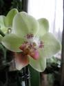 3 vrais mini Phalaenopsis et Oncidium - Page 2 Phal__10