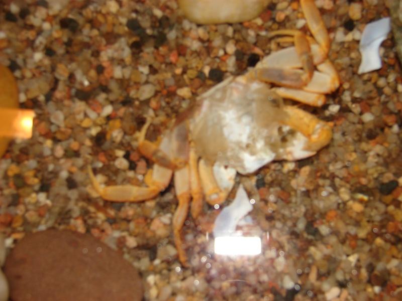 Cardisoma armatum - Crabe Arc-en-Ciel - Page 4 Dsc03320