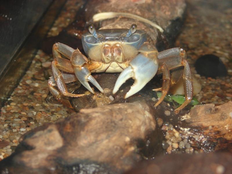 Cardisoma armatum - Crabe Arc-en-Ciel - Page 4 Dsc03710