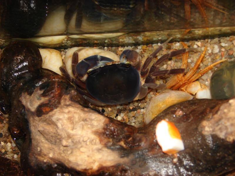 Cardisoma armatum - Crabe Arc-en-Ciel - Page 4 Dsc03711