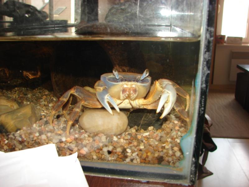 Cardisoma armatum - Crabe Arc-en-Ciel - Page 6 Dsc03727